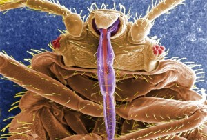 Bed Bug Mouth