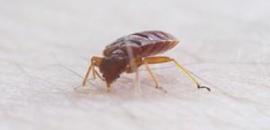 Bedbug  Cimex Lectularius